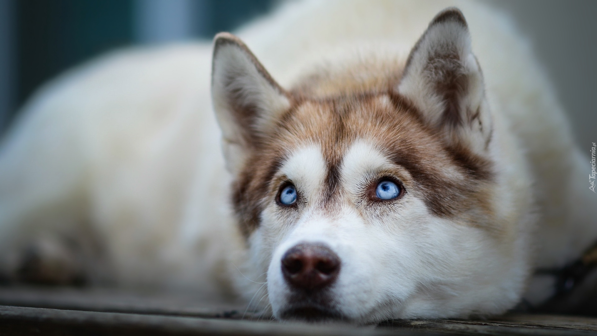 7 fun facts about the siberian husky furry babies