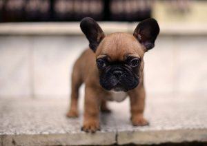 French Bulldogs The History And Facts Furry Babies