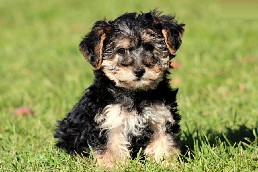 Important Facts About Yorkiepoo Puppies Furry Babies