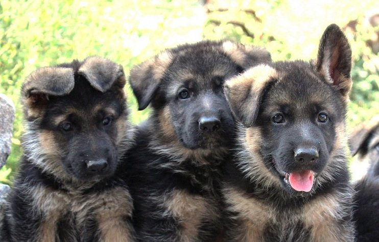 German Shepherd Puppy 11 Facts And Tips Furry Babies