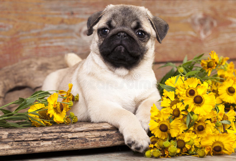 Pug Puppies For Sale Here At Furry Babies Buy A Pug Puppy Today