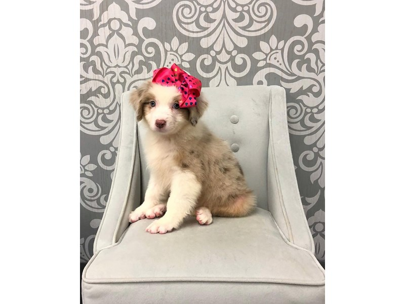 Australian Shepherd-Female-Red Merle-2127141-Furry Babies