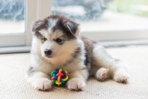 15 More Fantastic Facts About Siberian Husky Puppies Furry Babies