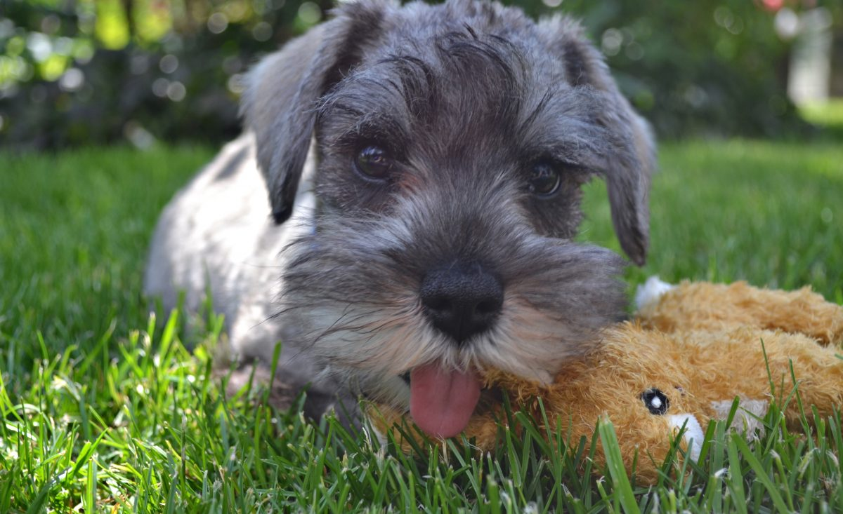 Important Facts About Mini Schnauzer Puppies Furry Babies