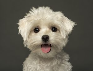 Five Hypoallergenic Puppies That Are