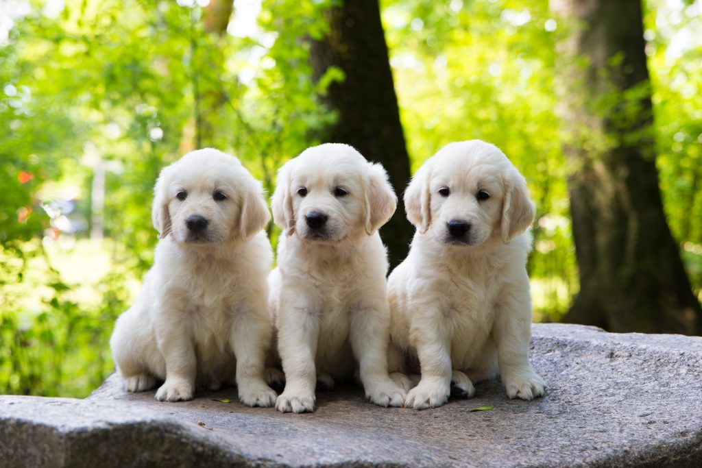 The Great Golden Retriever Interesting Facts Furry Babies