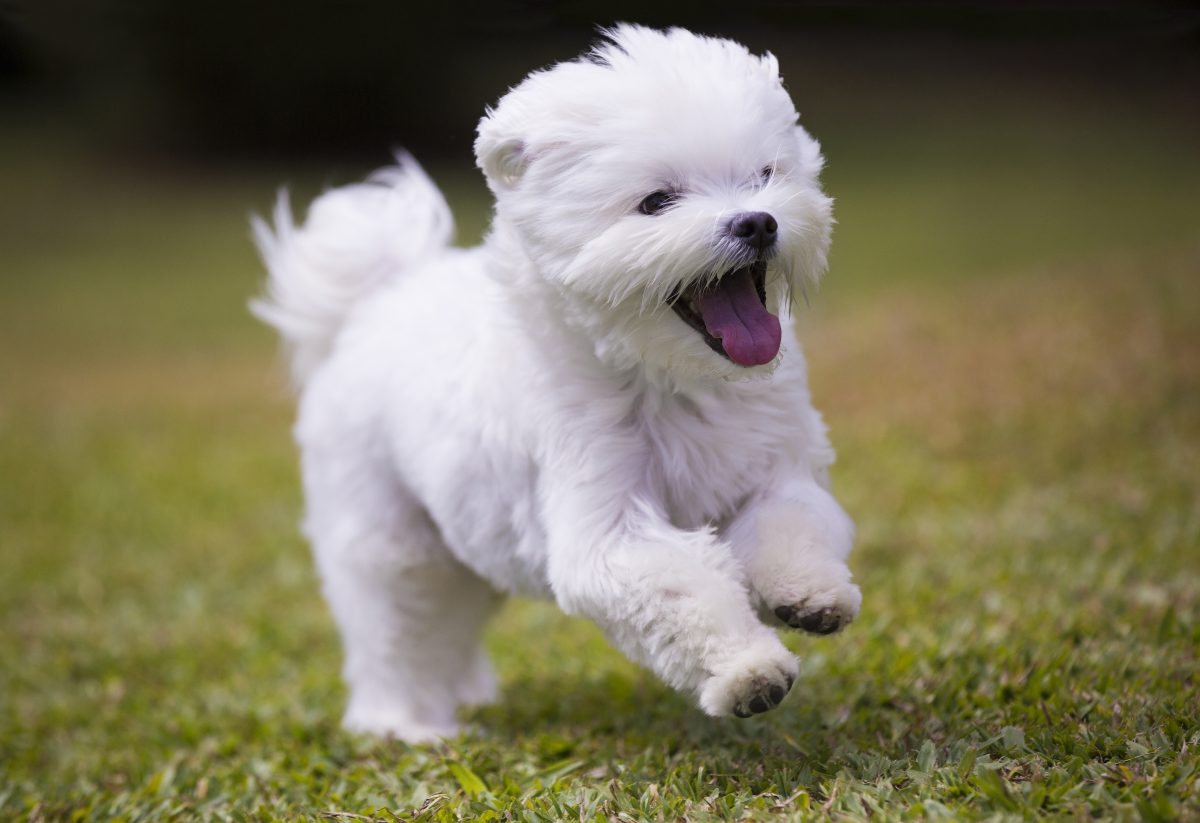 may the cute maltese puppies be with you furry babies