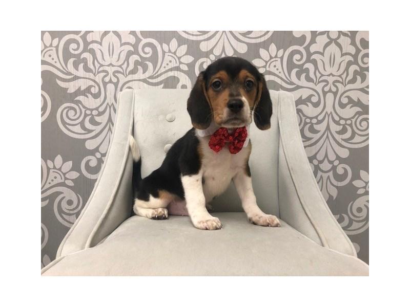Beagle-Male-TRI-Color-2134693-Furry Babies