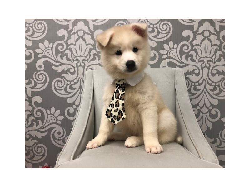 Pomsky-Male-Cream-2137642-Furry Babies