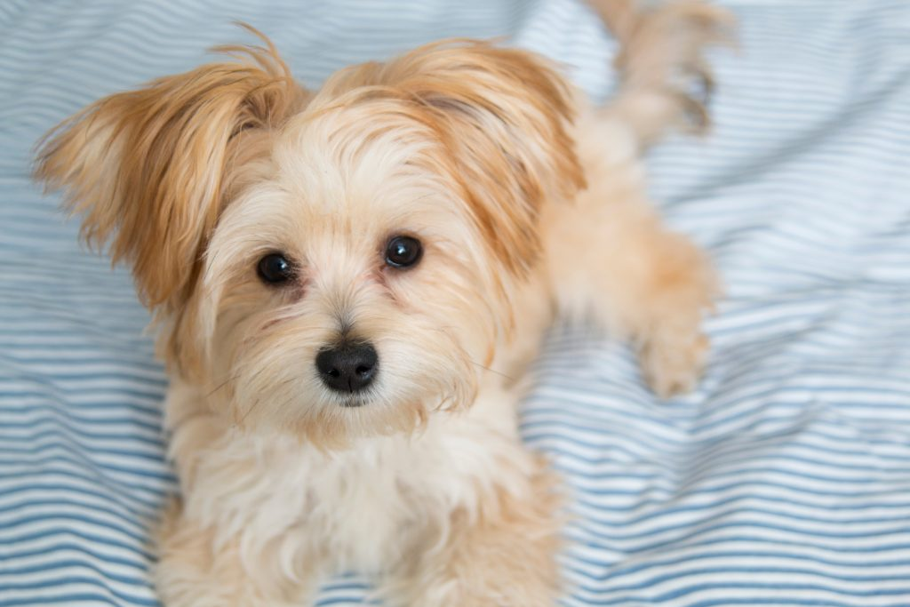 More Adorable Morkie Puppies Pretty Please Furry Babies