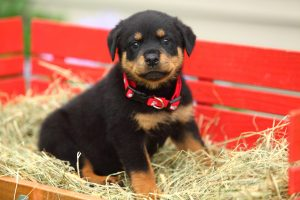 The Commanding Presence Of Rottweiler Puppies Furry Babies