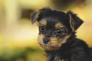 Search No More We Have Yorkshire Terrier Puppies Furry Babies
