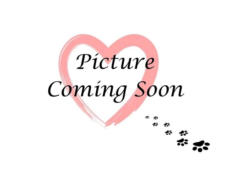 Norwegian Elkhound-Female-Gray-2213292-Furry Babies