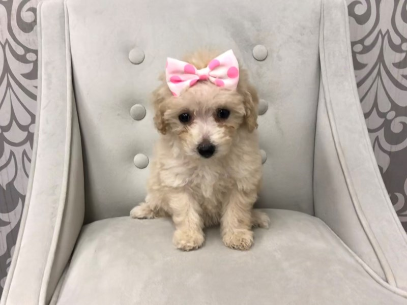 Miniature Poodle-Female-Apricot-2221732-Furry Babies