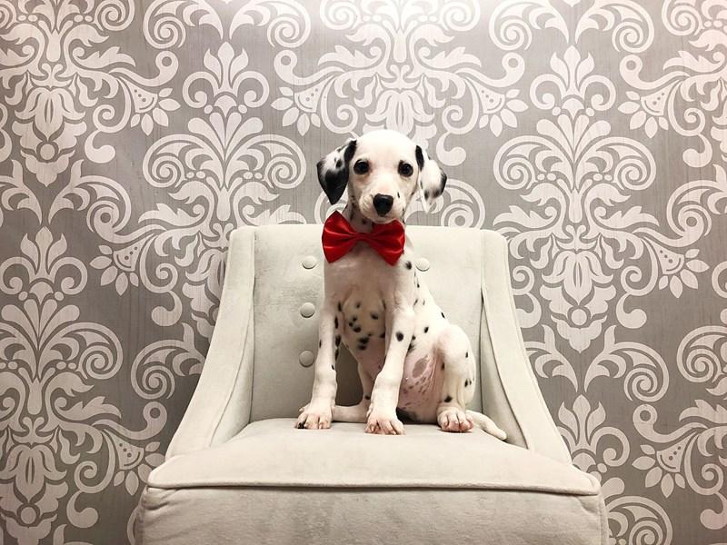 Dalmatian-Male--2230230-Furry Babies