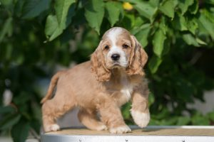 From Cocker Spaniel Puppies To The Adolescent Years Furry Babies