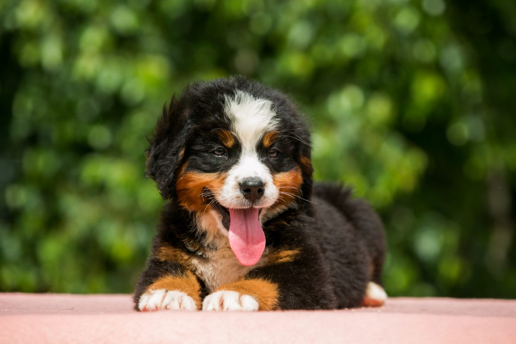 Tips To Curb Chewing And Biting For Bernese Mountain Dog