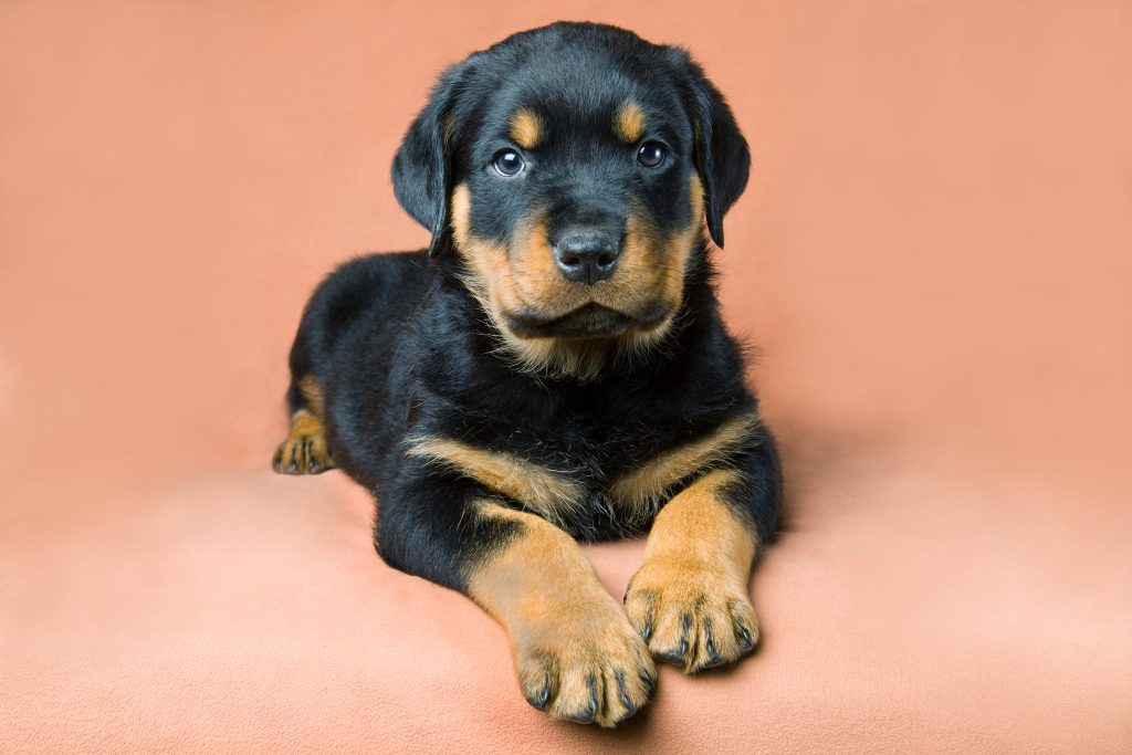 Buy Rottweiler Puppies For Sale In Netherlands