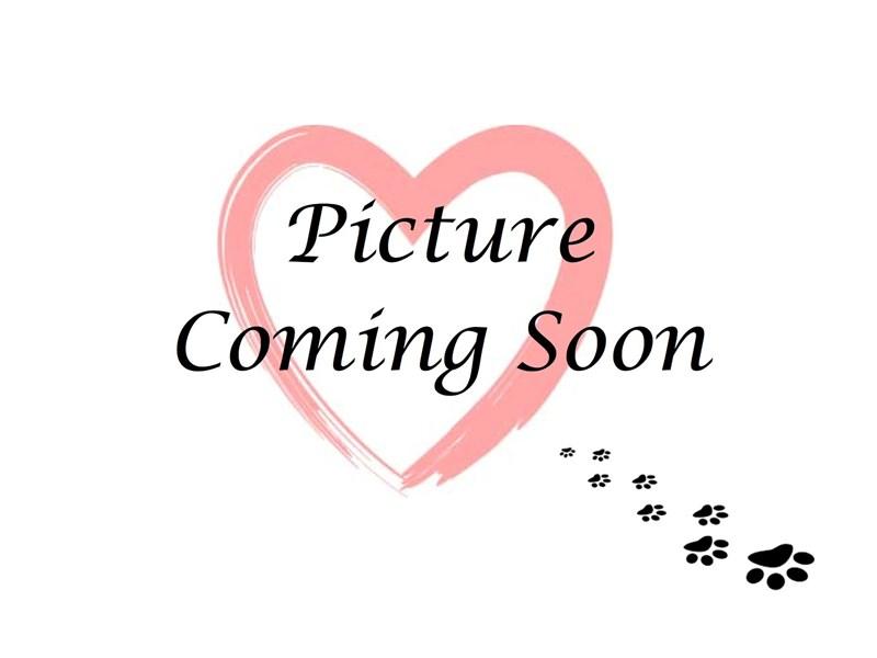 Shih Poo-Female-Black & White-2308241-Furry Babies