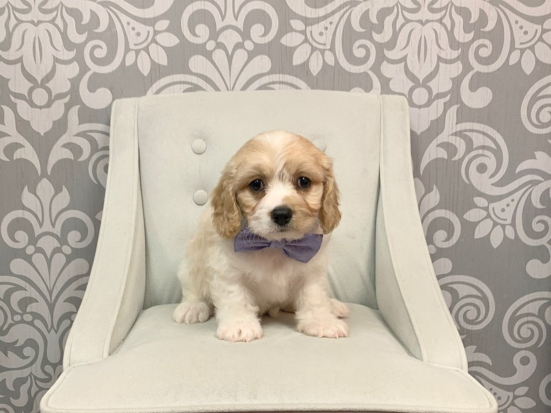 Cavachon-Male-Blenheim-2335288-Furry Babies