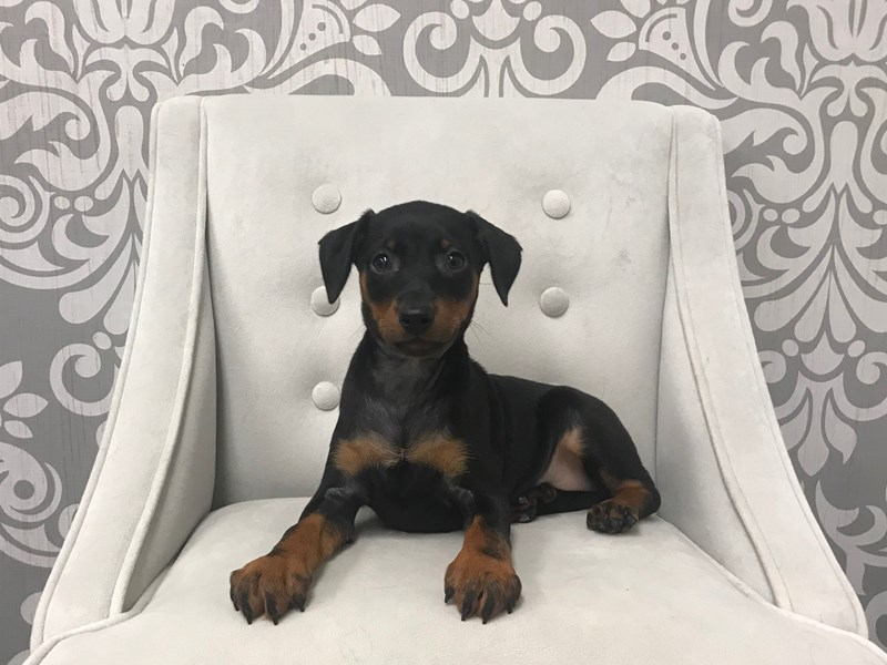 Miniature Pinscher-Female-BLACK TAN-2302886-Furry Babies