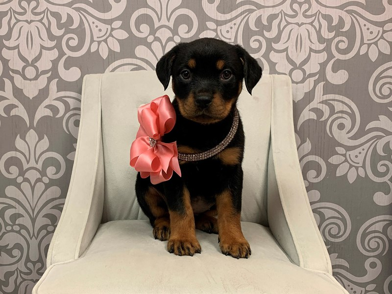 Rottweiler-Female-Black and Tan-2318884-Furry Babies