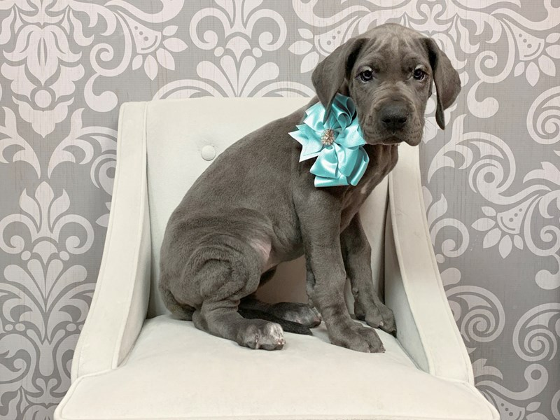 Great Dane-Female-Gray-2318802-Furry Babies