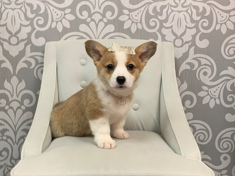 Pembroke Welsh Corgi-Female-Brown White-2334894-Furry Babies