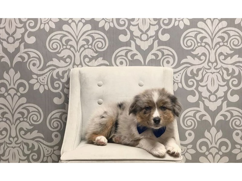 Australian Shepherd-Male-Blue Merle-2348073-Furry Babies