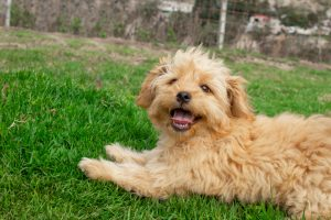 Furry Babies Presents - Mini Goldendoodle Puppies! - Furry