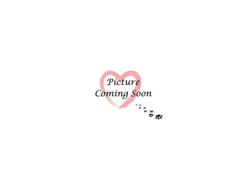 Pomeranian-Male-Chocolate & White-2298975-Furry Babies