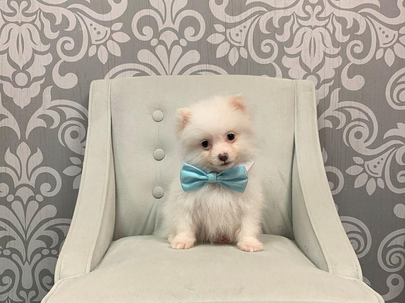 Pomeranian-Male--2331936-Furry Babies