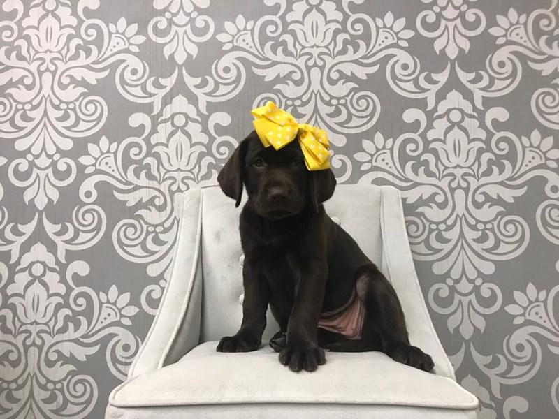 Labrador Retriever-Female-Chocolate-2334853-Furry Babies