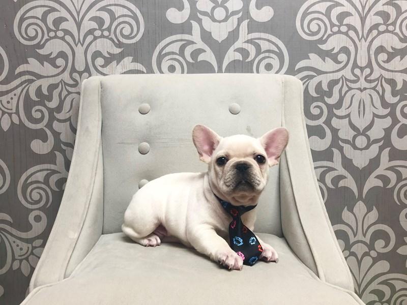 French Bulldog-Male-Cream-2369860-Furry Babies