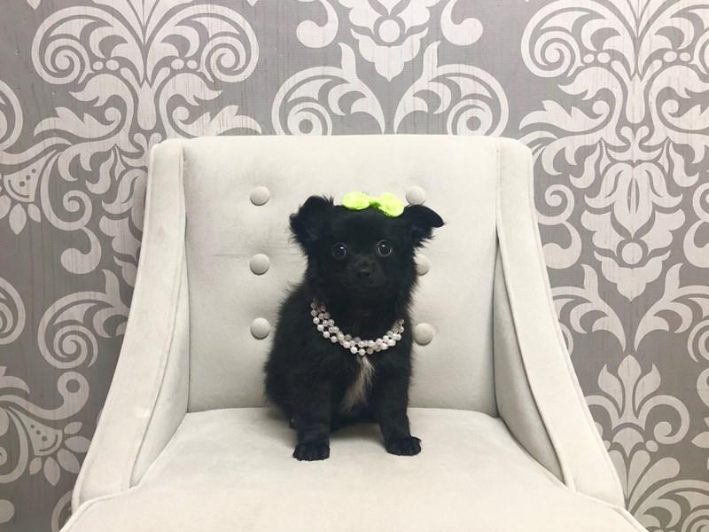Chihuahua-Female-Black with white-2369878-Furry Babies