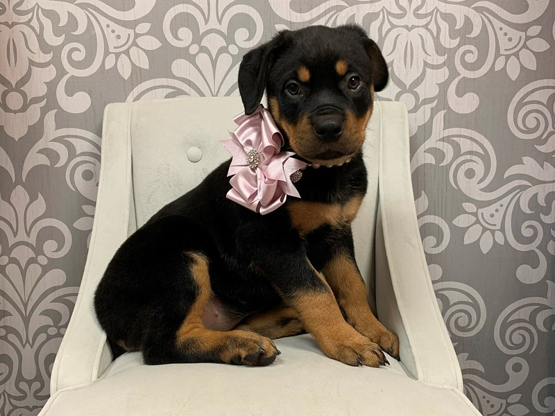 Rottweiler-Female-Black and Tan-2372999-Furry Babies