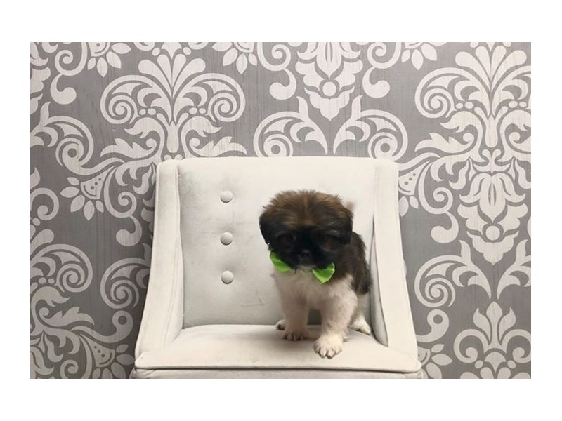 Shih Tzu-Male-BROWN WHITE-2339935-Furry Babies
