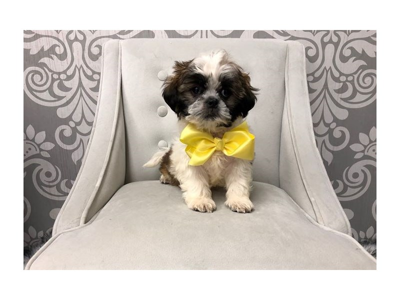 Shih Tzu-Male-BROWN WHITE-2384945-Furry Babies