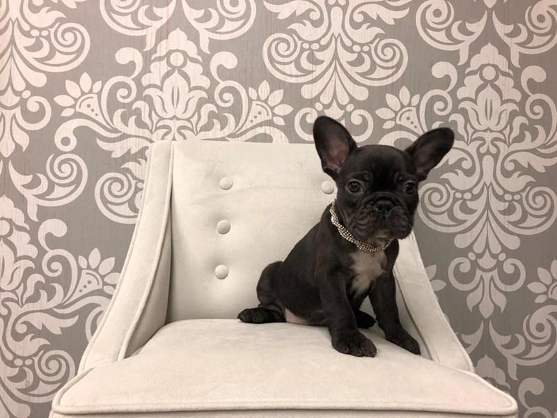 French Bulldog-Female-Black-2399758-Furry Babies