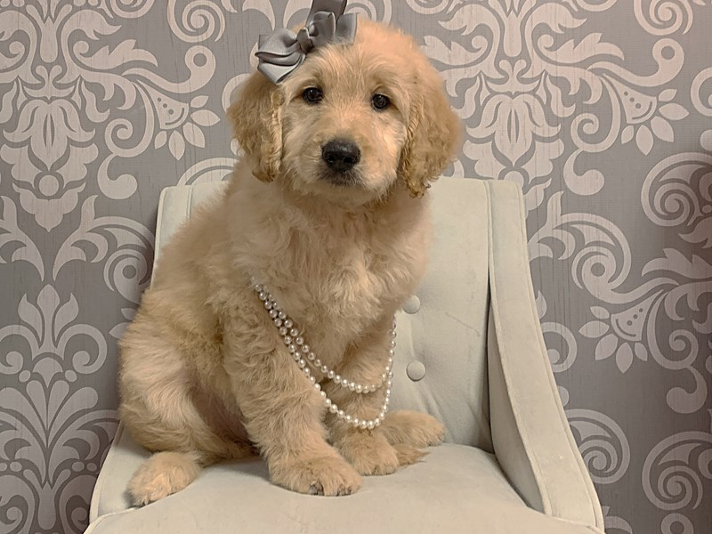 Goldendoodle-Female-Golden-2402680-Furry Babies