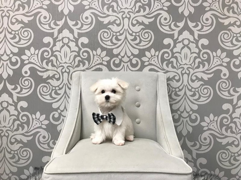 Maltese-Male-White and Black-2359365-Furry Babies