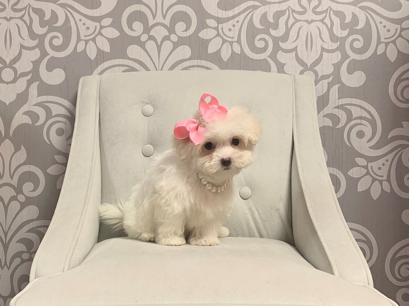 Maltese-Female-WHITE-2414449-Furry Babies