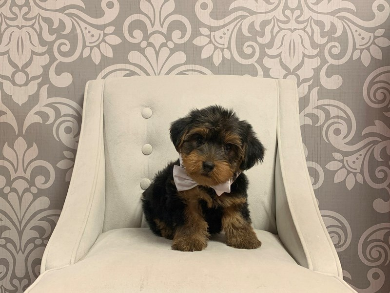 Yorkshire Terrier-Male-Black Tan-2414477-Furry Babies