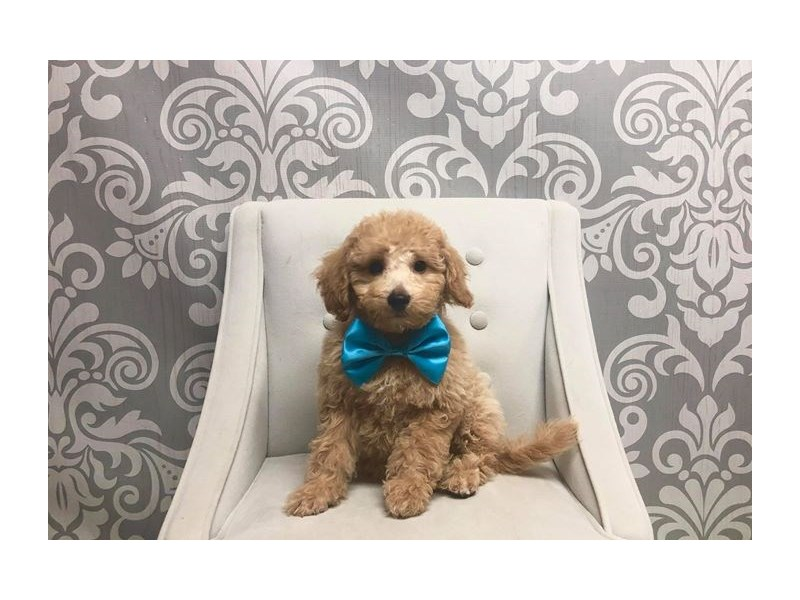 Bichon Poo-Male-LIGHT RED-2414635-Furry Babies