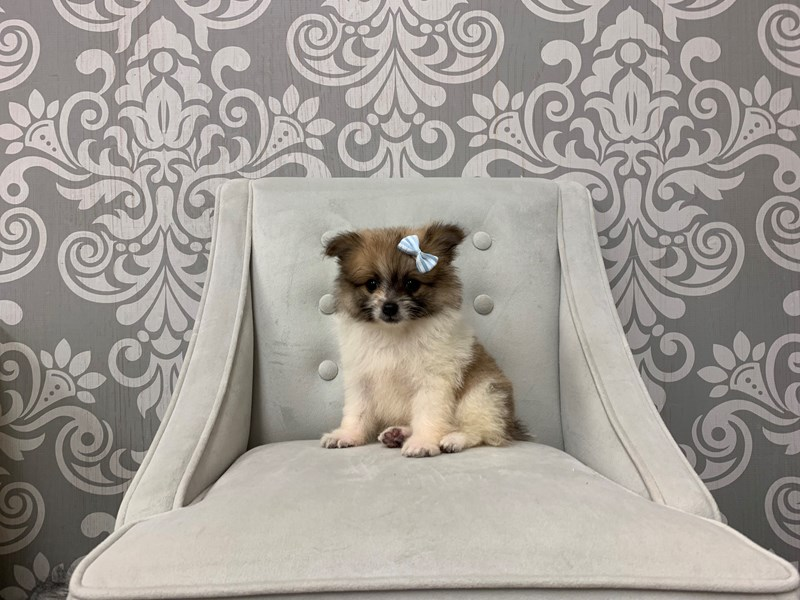 Pomeranian-Female-SABLE WHITE-2420607-Furry Babies