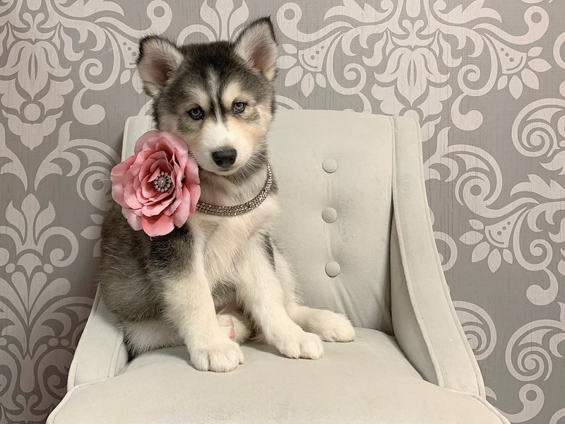 Siberian Husky-Female-Black & White-2426819-Furry Babies