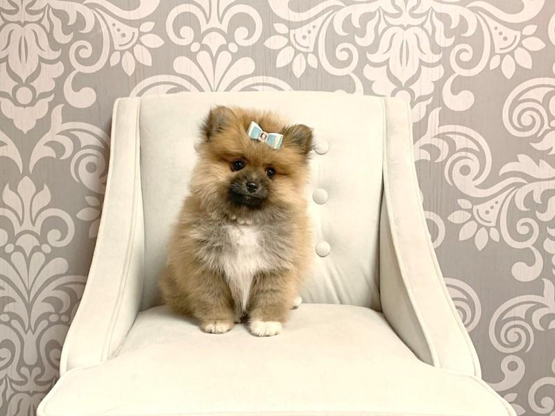 Pomeranian-Female-BROWN WHITE-2439221-Furry Babies