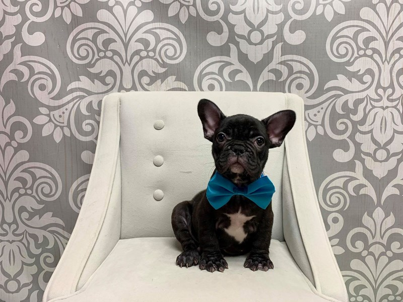 French Bulldog-Male-Brindle-2448326-Furry Babies