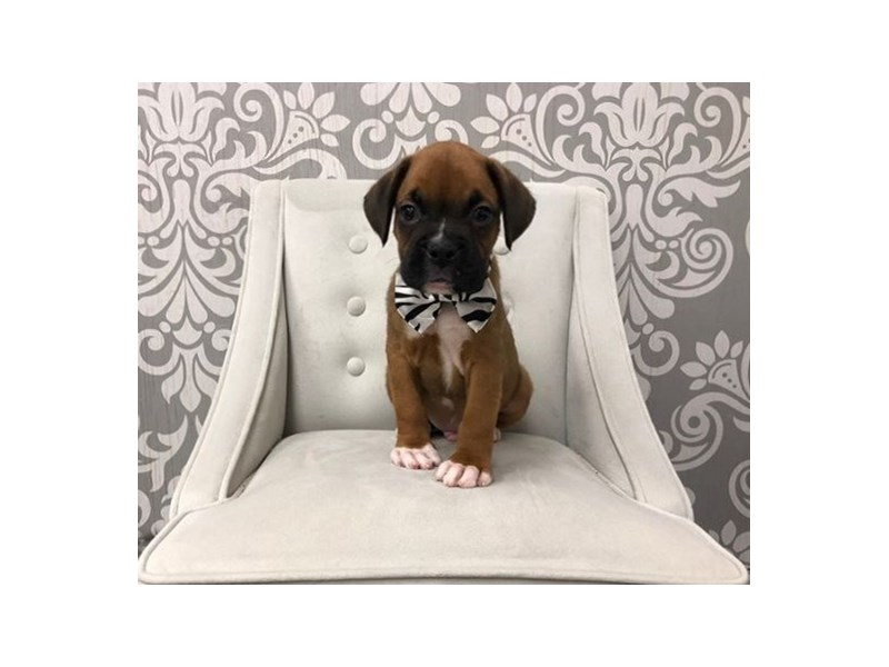 Boxer-Male-Red White-2458042-Furry Babies