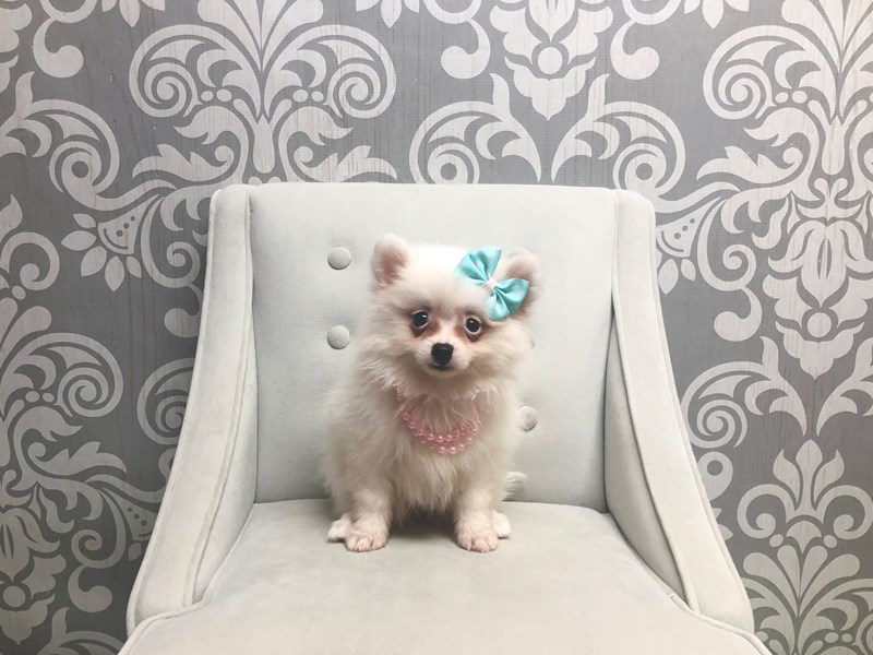 Pomeranian-Female-CREAM WHITE-2391000-Furry Babies